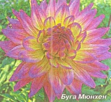 Новые зарубежные сорта георгинов появились в российских садах