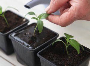 Обзор основных стимуляторов роста для рассады томатов и перца: как вырастить здоровые сеянцы у себя дома