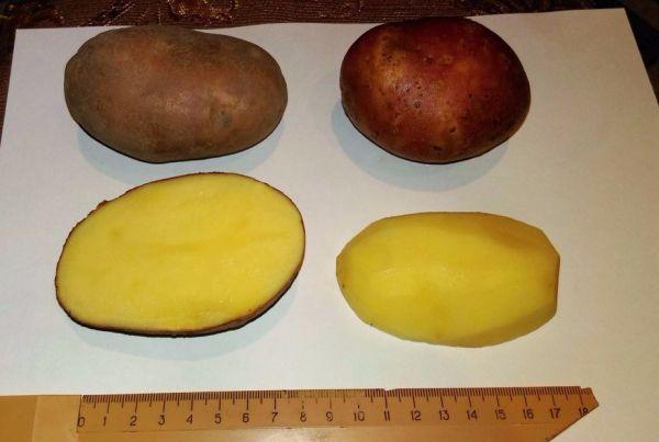 Описание сорта картофеля «вектор», признанного достижением в работе российских селекционеров
