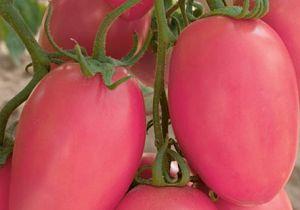 Описание вкусного и универсального сорта томатов — «сливка розовая» с фотографиями помидора