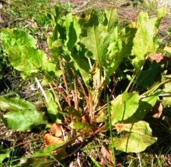 Осенний щавель очень полезен, хранение заготовленных листьев