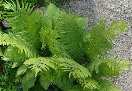 Папоротники – древнейшие растения, в дизайне сада