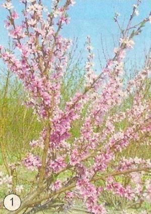 Персик в сибири: агротехника, защита от морозов