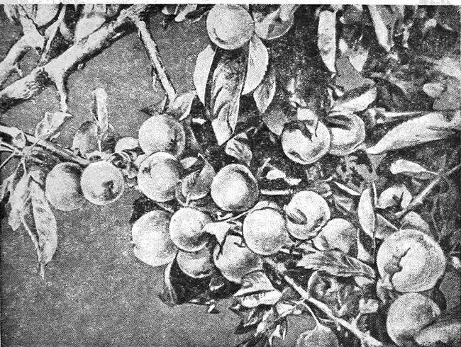 Первопроходец сибирского садоводства н. Перов из томска, книга