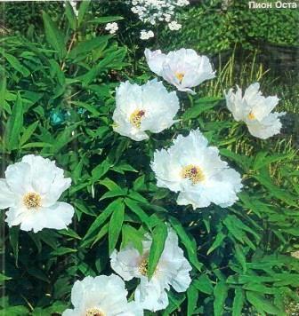 Пионы древовидные, сорта, особенности культуры, применение в дизайне сада