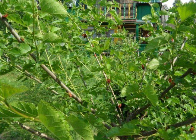 Плоды и ягоды 2014 года в саду казанина геннадия на юге западной сибири