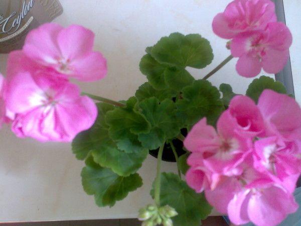 Почему моя герань (несколько) никогда не цветет дома?