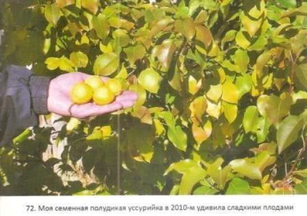 Подвои-менторы – основа здорового сада, подбор подвоев для плодовых культур