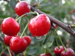 Полезные свойства вишни, а также посадка и уход за культурой