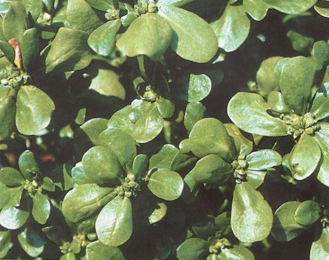 Портулак огородный и декоративный, особенности культуры, лечебные и диетические свойства