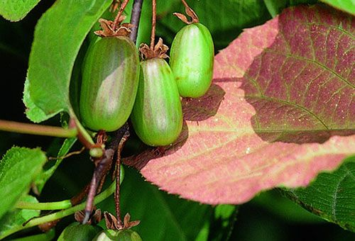 Посадка актинидии и уход за субтропическим растением