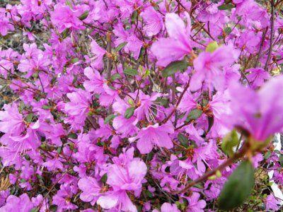 Посадка и уход за рододендроном даурским, способы размножения, фото