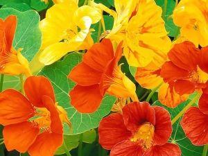 Посадка настурции, выращивание и правильный уход за ней
