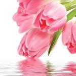 Посадка тюльпанов, уход и лечение болезней