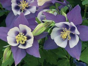 Цветы аквилегия - посадка, уход, сорта, фото