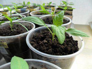 Пошаговый алгоритм выращивания перца: посадка и уход за рассадой, своевременная пикировка, правильное прищипывание, закаливание и высадка в открытый грунт