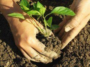 Правила и секреты выращивания перцев в открытом грунте: сроки и схема высадки, уход в зависимости от погоды