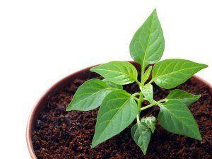 Правила и сроки посадки перца болгарского: когда сажать на рассаду, особенности посева семян по лунному календарю, уход, пересадка и подкормка