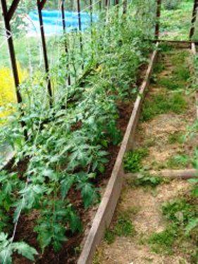 Правильное удаление пасынков на томатах