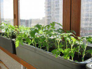 Правильное выращивание перцев из семян в домашних условиях: как выбрать семена и вырастить рассаду на окне