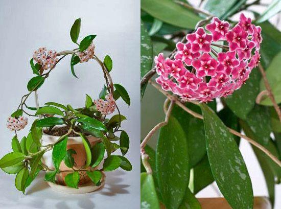 Правильный уход за растением хойя в домашних условиях, размножение, вредители и болезни