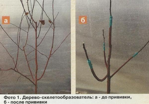 Прививка и перепрививка плодовых культур, создание дерева-сада