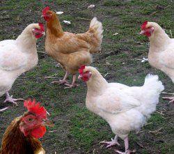Птичий помет – ценное органическое удобрение, способы использования птичьего помёта