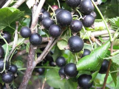 Пути получения крупных плодов и ягод на дачном участке