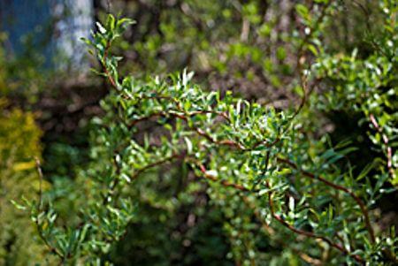 Ракита, ветла, верба, шелюга, краснотал, верболоз, лозняк, бредина, белотал, корзиночник, конопляник – названия одного из любимейших в русском народе деревьев – ивы, использование в дизайне сада