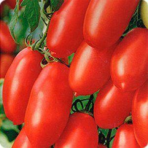 Среднеранний сорт томата «чибис»: описание, посадка и уход