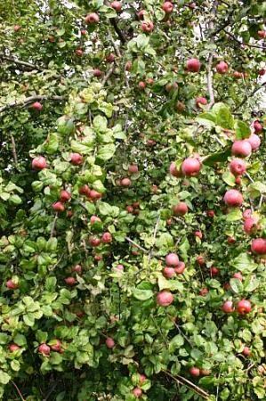 Расчёт экономической эффективности сада или некоторые способы борьбы с периодичностью плодоношения