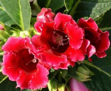 Размножение и выращивание глоксинии в домашних условиях