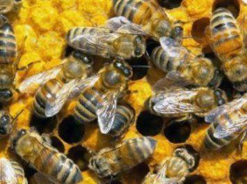 Пчелиная семья - основа пчеловодства, жизнь пчелиной семьи