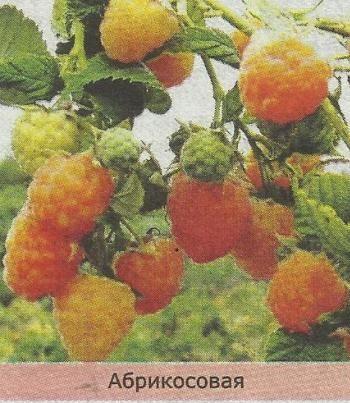 Ремонтантная малина: особенности агротехники, посадка и уход