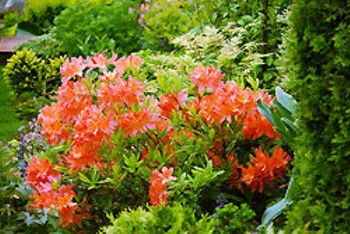 Рододендрон японский в российском саду, условия произрастания, агротехника