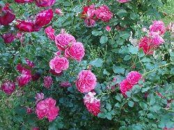 Роза кустовая садовая — правильный уход и выращивание на даче.