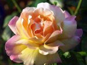 Роза сорта gloria dei, розы в ландшафтном дизайне, происхождение и особенности сорта розы глория деи