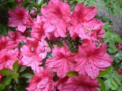 «Розовое дерево» (азалия индийская): особенности цветения, уход в домашних условиях