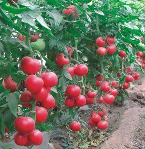 Томат пинк парадайз : описание и характеристики, урожайность сорта, рекомендации по уходу и выращиванию, фото помидор