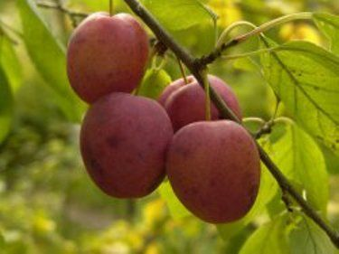 Сад в период созревания плодов, особенности ухода за садовыми растениями в этот период
