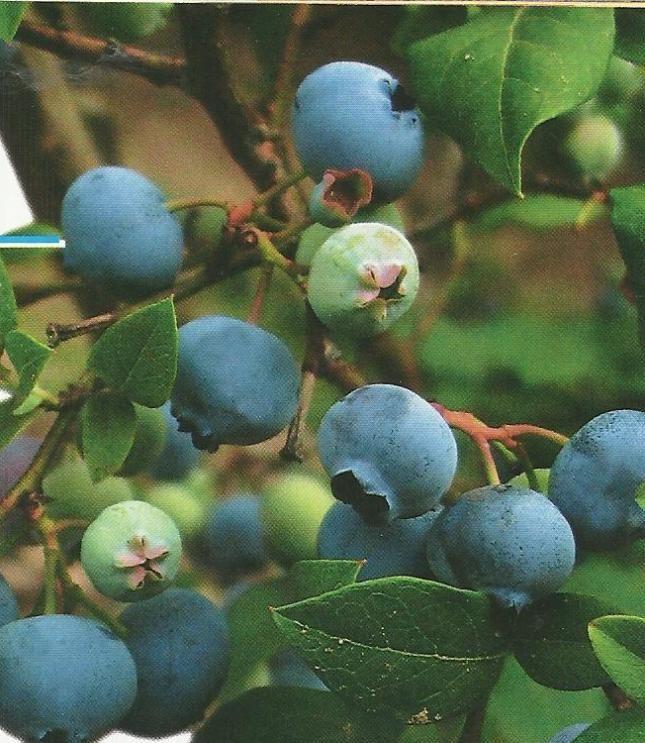 Садовая голубика в условиях средней полосы россии, в подмосковье, её достоинства, сорта, уход