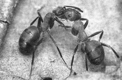Садовые муравьи: вред и польза