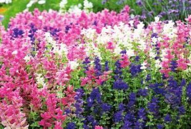 Сальвия: выращивание на даче