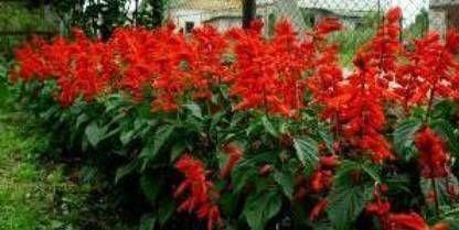 на даче цветы сальвии