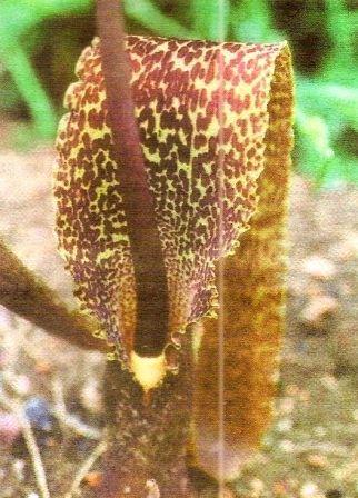 Сауроматум – экзотический тропический цветок, уход за сауроматом