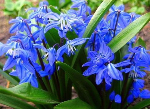Сцилла, или пролески, цветы-сорняки, в дизайне и украшении сада