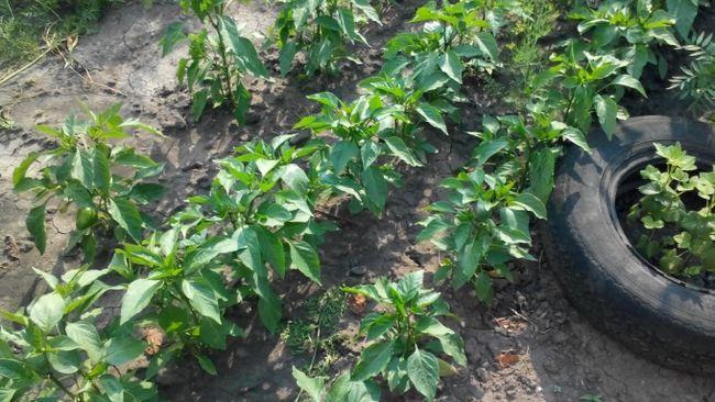 Секреты выращивания болгарского перца в открытом грунте