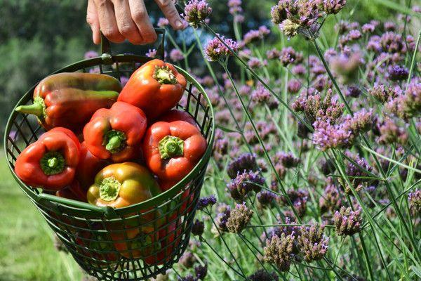Секреты выращивания целебных перцев различных сортов