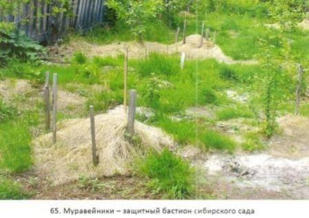 Сибирский сад, болезни и вредители в сибирском саду, сибирские морозы