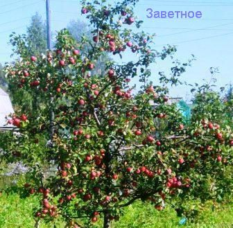 Сибирский сад после экстремальных зим, восстановление садов и возрождение надежд